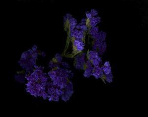 Purple Buds<br> Epson print 11x14  $200<br> Acrylic  mount 20x24 $600<br/>